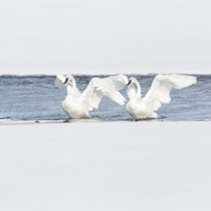 Swans that Flap Together