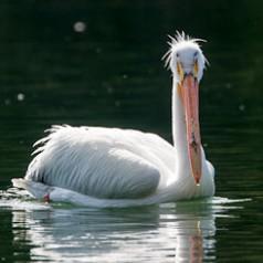 Pelican Back-lit