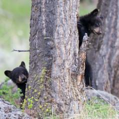 Cubs on Alert