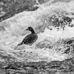 Harlequin Duck in Rapids