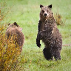 Two Grizzly Bears