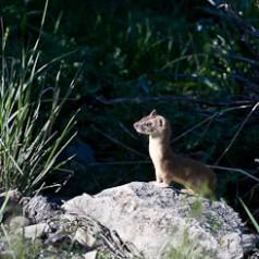 Weasel Paused