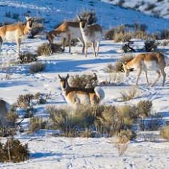 Antelope Herd Winter