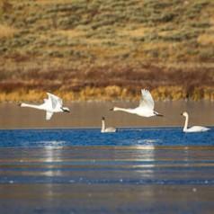 Swan Lake Trumpeters