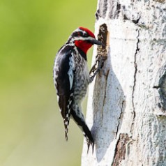 Sapsucker Checking on the Chicks
