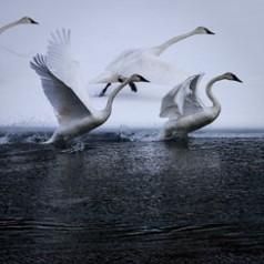 Hayden Valley Swans