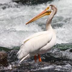 White Pelican Fishing Rapids