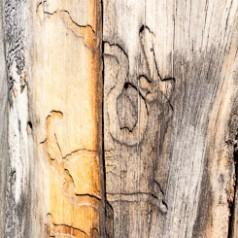 Bark Beetle Larval Galleries-1