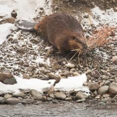 Industrious Beaver