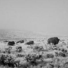Hayden Valley Herd