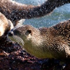 River Otter Shaking Dry