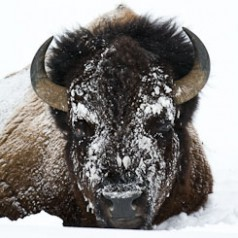 Bull Bison Snow Masked