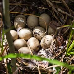Mallard Duck Nest