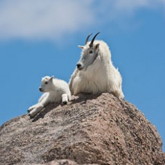 Mountain Goat and Newborn on Rock