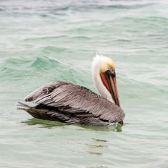 Brown Pelican Floating