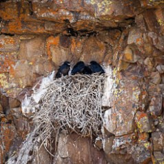 Raven Nest with Chicks