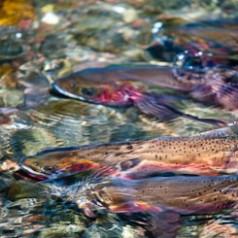 Spawning Yellowstone Cutthroat