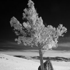 Blacktail Plateau Treescape
