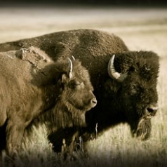 Bison Bull and Cow Sunset Sepia