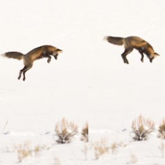 Red Fox Mousing-Composite
