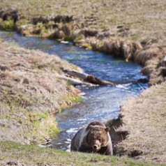 Grizzly Bear at Obsidian Creek