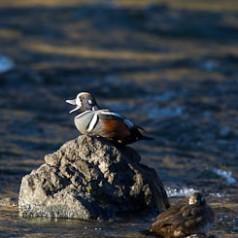 Harlequin Duck Calling