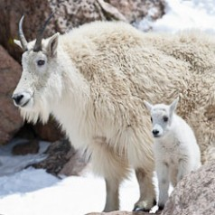 Mountain Goat and Kid