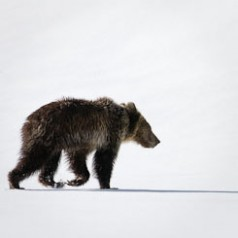 Grizzly Bear and Long Shadow