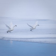 Trumpeter Swan Lift-Off