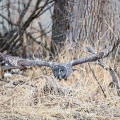 Great Grey Owl on the Prowl