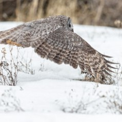 Silent Great Grey Owl