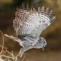 Winged Phantom-Great Grey Owl