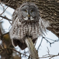 Great Grey Owl all a Fluff