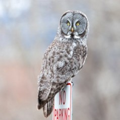 No Parking…Great Grey Owl