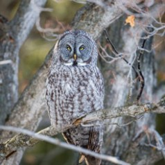Great Grey Owl Morning Roost
