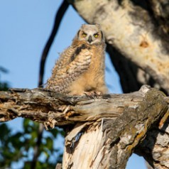 Great-Horned Owl Fledging