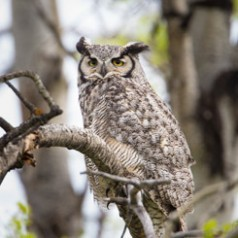 Bad Ear Day - Great-Horned Owl