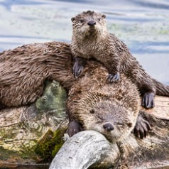 Sleeping Otter with Young