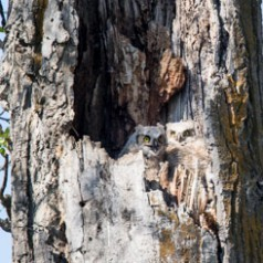 Two Great-Horned Owlets in Nest Cavity