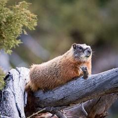 Spring Marmot