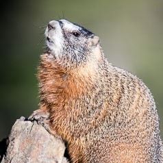 Marmot Rising
