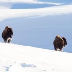 Bison Survey