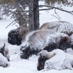 Herd in Blizzard
