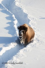 Bison in deep snow trail