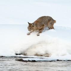 Bobcat Landing 2