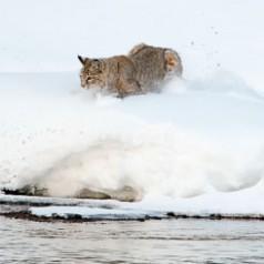 Bobcat Landing 1