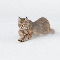 Bobcat Running in Deep Snow