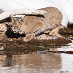 Motionless Bobcat