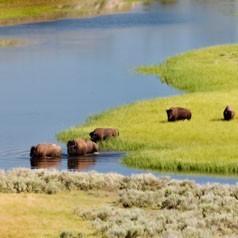 Bull Bison Crossing