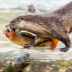 An Otter Runs Through it